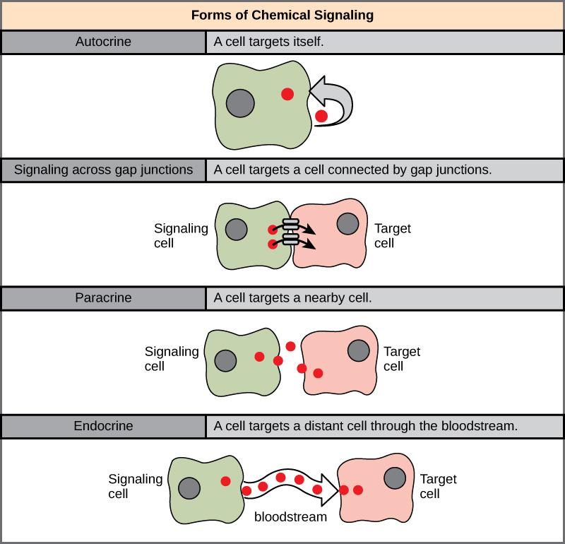 In chemical signaling, a cell may target itself (autocrine signaling), a cell connected by gap junctions, a nearby cell (paracrine signaling), or a distant cell (endocrine signaling).