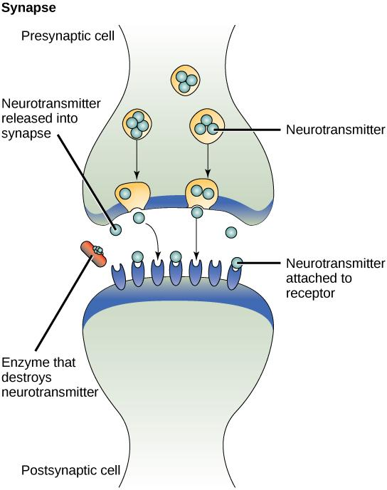 called neurotransmitters by the presynaptic cell (the cell emitting the signal).
