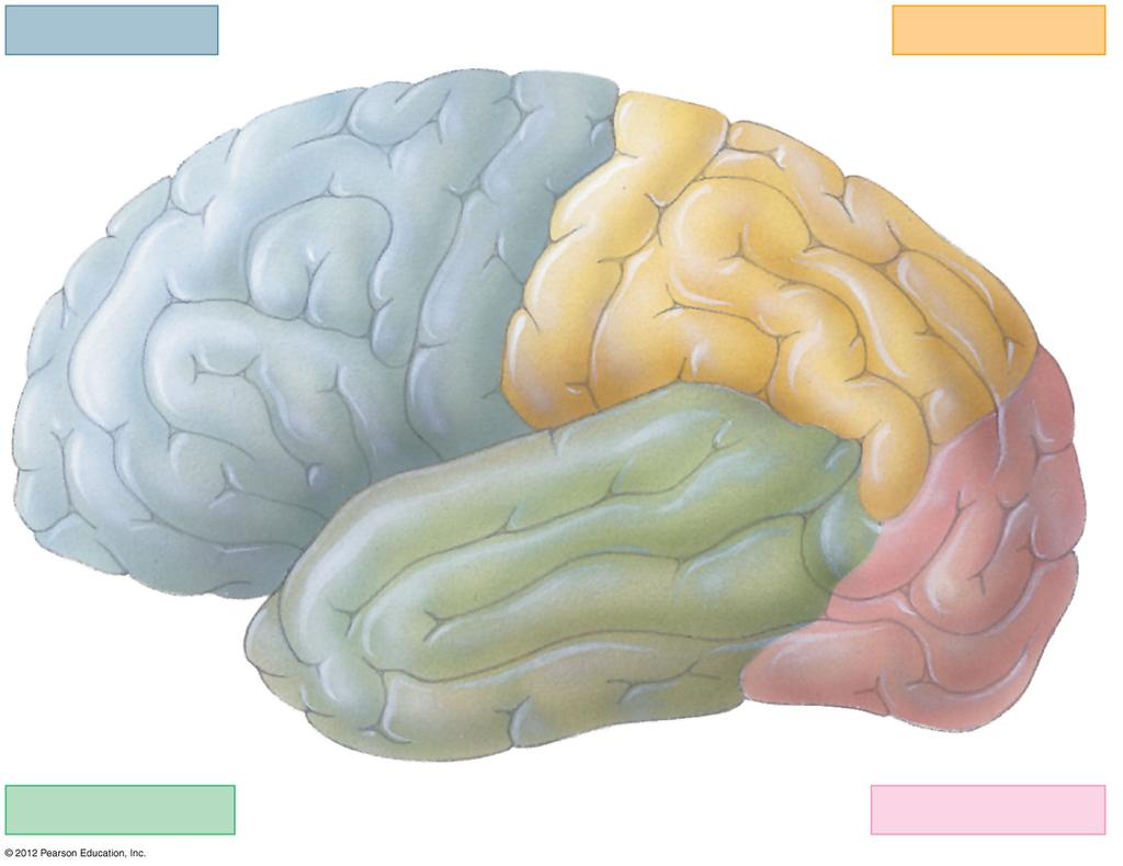 THE CEREBRAL CORTEX FRONTAL LOBE TEMPORAL LOBE PARIETAL LOBE