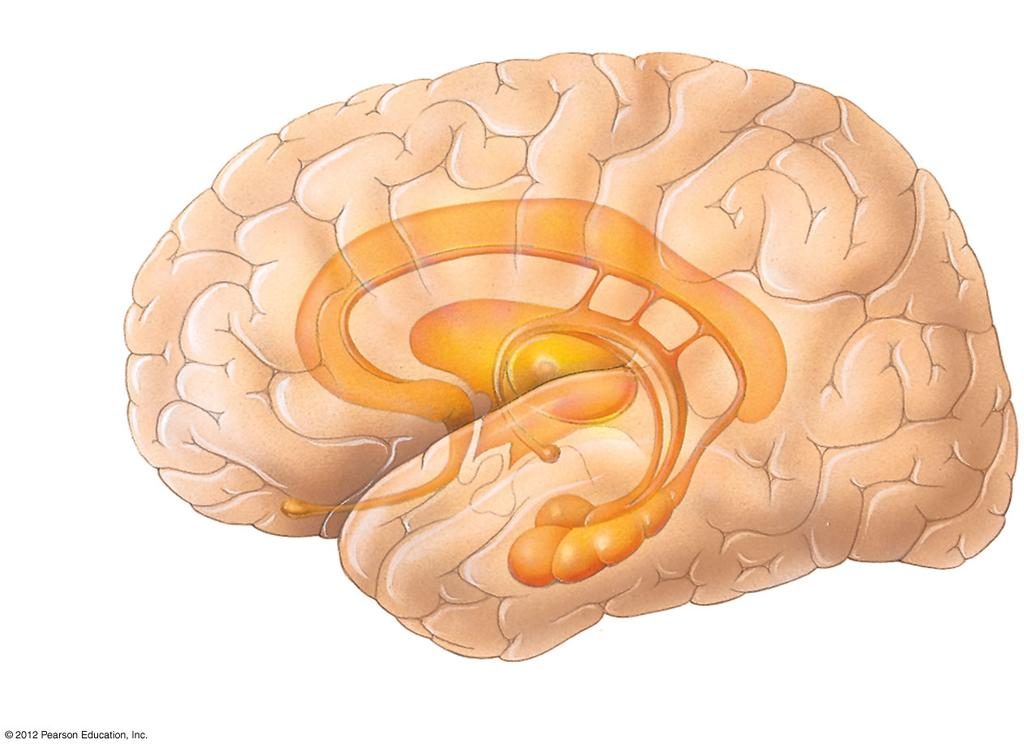 SYSTEM THE LIMBIC SYSTEM AMYGDALA HIPPOCAMPUS SHORT-TERM MEMORY