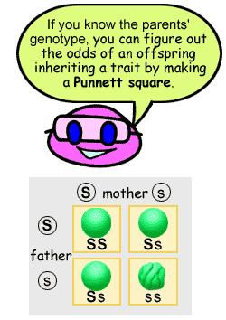 Punnett Squares 1905, Reginald Punnet, English biologist created a shorthand way of finding EXPECTED