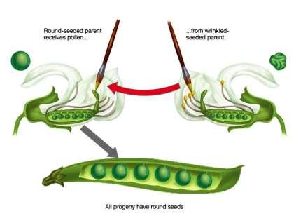 The Peas Mate Pollination is the transfer of pollen grains from a male reproductive organ to a female productive organ Both male and female organs are close together in the same pea