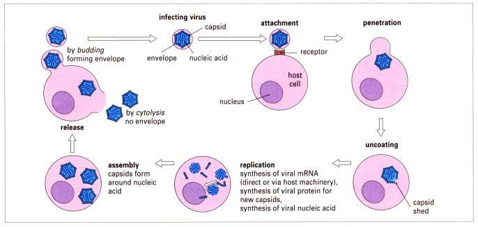 Viral Life Cycle: Different Immune