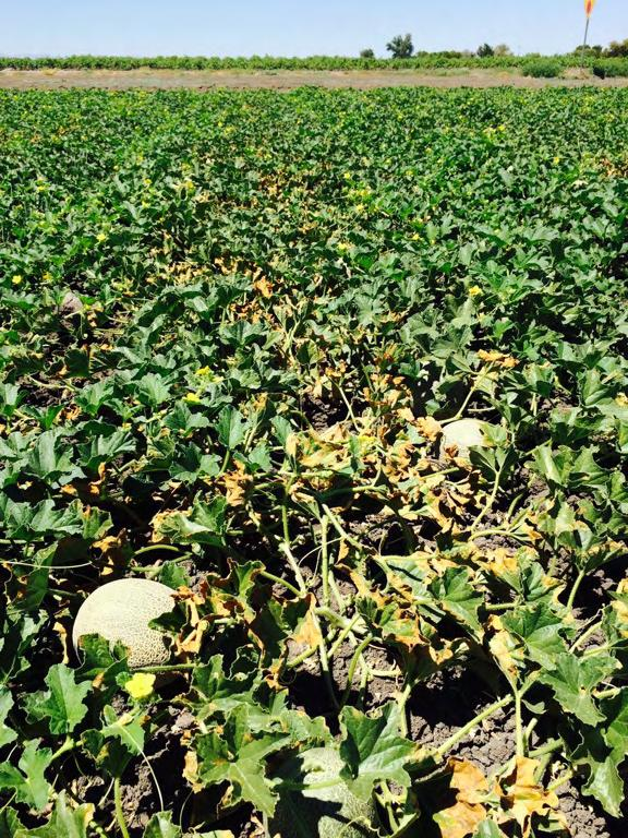 Acremonium an acrimonious disease of melons. Widespread & frequent throughout the state.