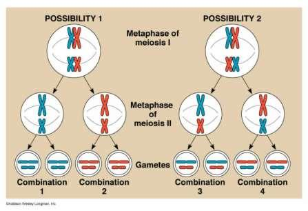 Genetic Variation Crossing over during meiosis provides variability How many different kinds of gametes can a pea plant produce?