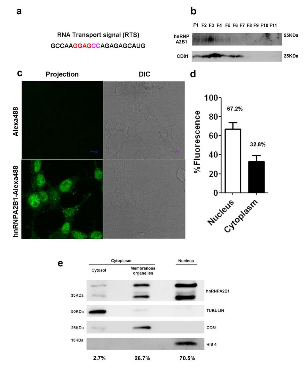 Supplementary Figure S4. HnRNPA2B1 presence in exosomes (a) RNA transport signal sequence (RTS) (b) Western blot showing hnrnpa2b1 and CD81 enrichment in sucrose fraction 3.