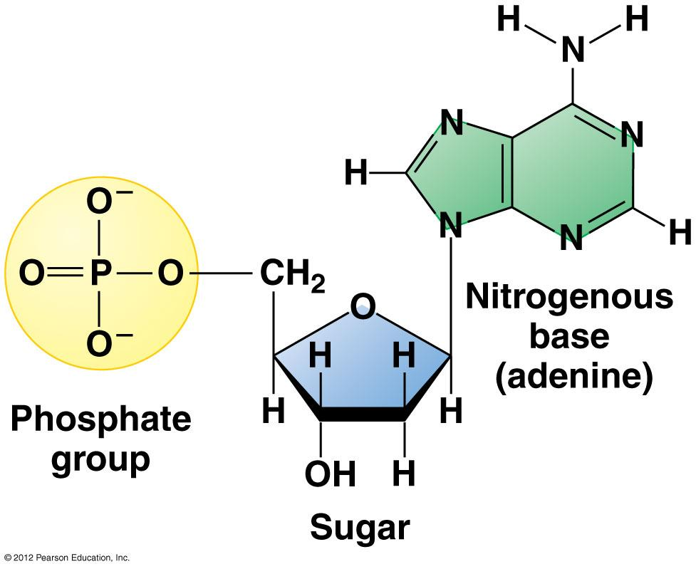 The Monomers of Nucleic Acids: Nucleotides Nitrogenous bases: Adenine
