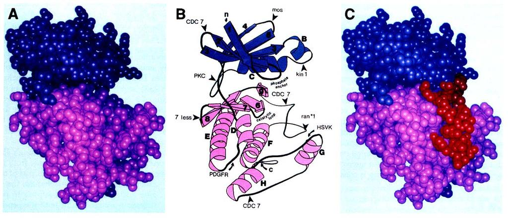 Protein Kinases Structure N-terminal lobe (beta sheets, Helix C) involved in ATP binding C-terminal lobe