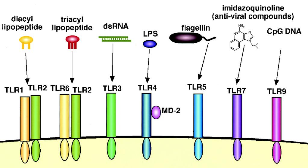 Toll-like receptors and recognition of pathogens Viral ssrna LRR extracellular