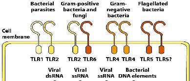 TLR- flagella) Lipopeptides Zymosan (yeast) TLR- ssrna viruses TLR-7 activation; ecretion of inflammatory Biological Consequence of Type I interferons