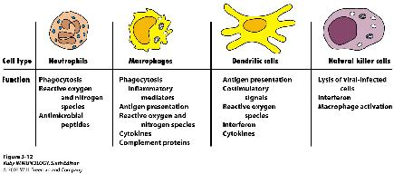 Cell Types of Innate Immunity Neutrophils Phagocytosis Express s on surface (TLRs, Complement, Antibodies, etc) Oxidative and Non-oxidative Killing Oxidative: RO (reactive oxygen species) and RN