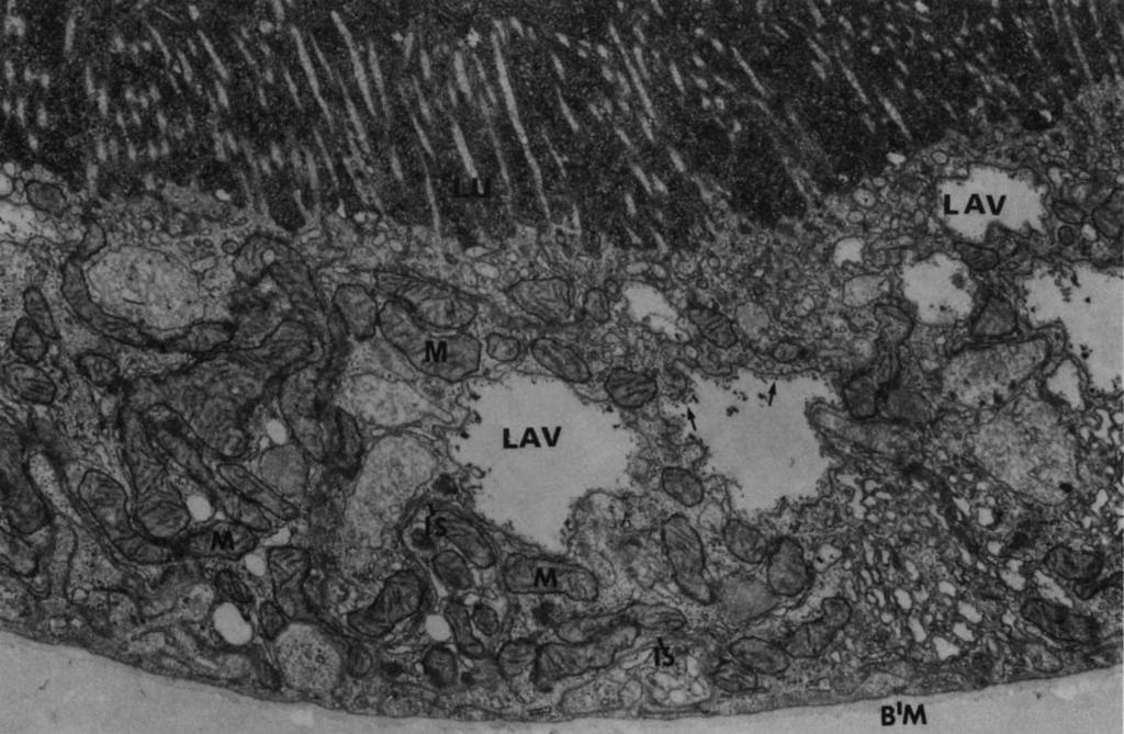 The lumen (LU) is filled with ferritin molecules. r Fig. 7. Immature proximal tubule perfused as in Fig. 6 (X24,000).