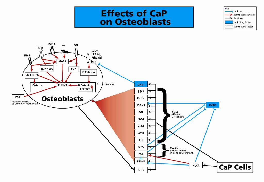 Pro-Osteoblastic Factors Produced by Prostate Cancer Cells Multiple products of prostate cancer promote the hallmarks of the osteoblastic reaction increased osteoid surface, osteoid volume and