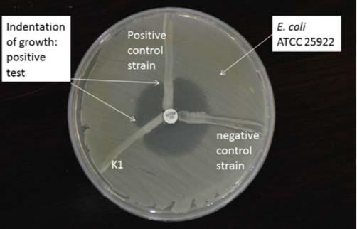 FIGURE 1. Modified Hodge test A disk of 10 μg of meropenem was placed at the center of Muller-Hinton agar inoculated with 0.5 McFarland dilution of the meropenem-sensitive indicator organism E.