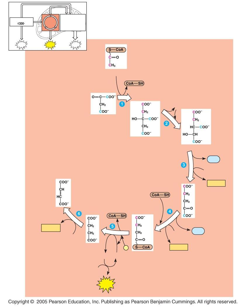 LE 9-12_3 Glycolysis Oxidation phosphorylation Acetyl CoA H2O Oxaloacetate Citrate Isocitrate CO2