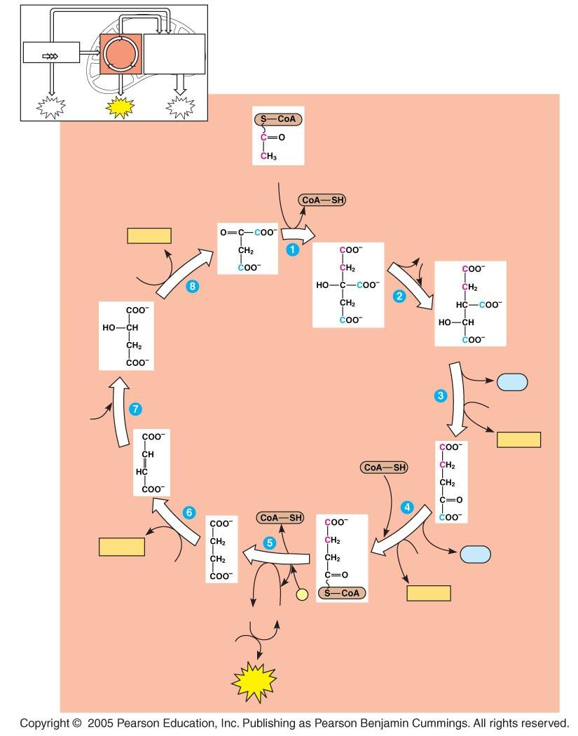 LE 9-12_4 Glycolysis Oxidation phosphorylation Acetyl CoA NADH + H+ H2O NAD + Oxaloacetate Malate Citrate