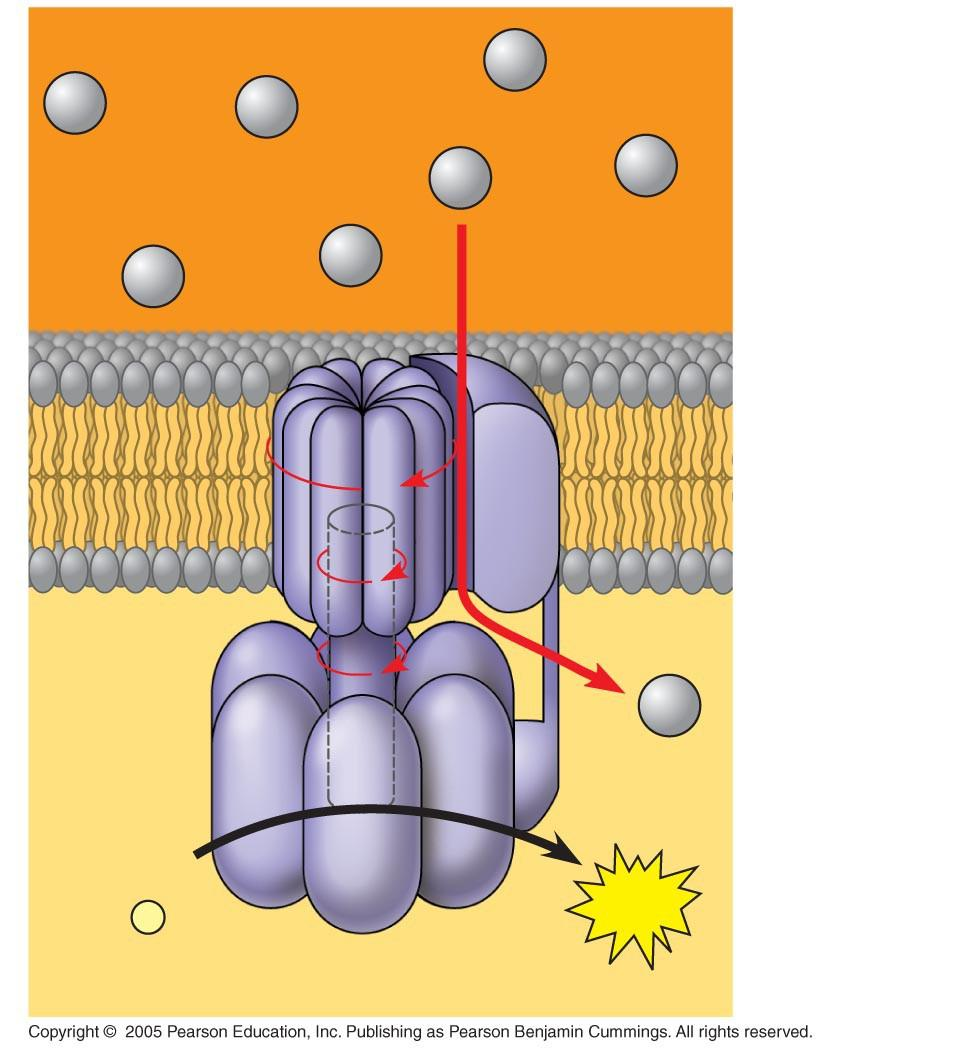 LE 9-14 INTERMEMBRANE SPACE H+ H+ H+ H+ H+ H+ A rotor within the membrane spins as shown when H+ flows past it down the H+ gradient. H+ A stator anchored in the membrane holds the knob stationary.