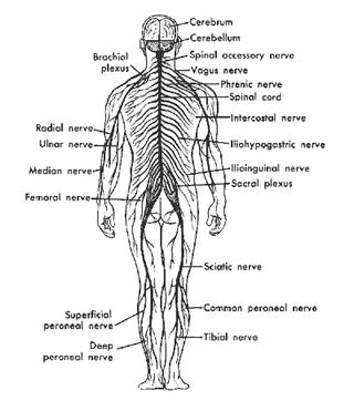 Peripheral Nervous System The Peripheral Nervous System (PNS) is the nerves that communicate motor system and sensory signal