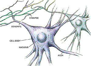 The Dendrites receive the signals first before it s passed on to the rest of