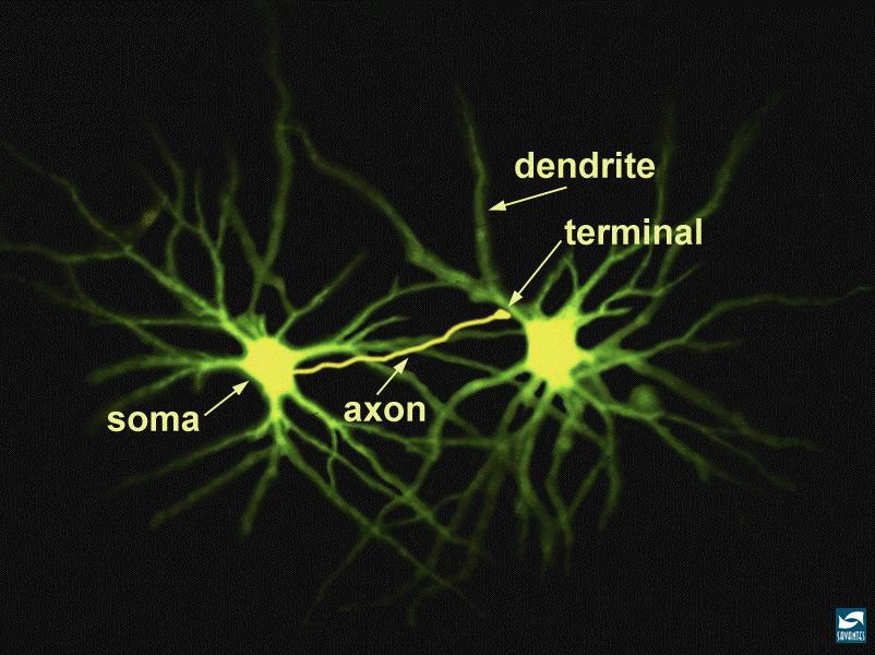 The Axon of the Neuron The Axon is the main place where the signals are