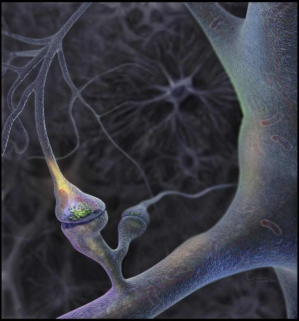 Synaptic Terminal of a Neuron The Synaptic Terminals are what connects to the Dendrites of the next Neuron. They send the signal to the next Neuron.