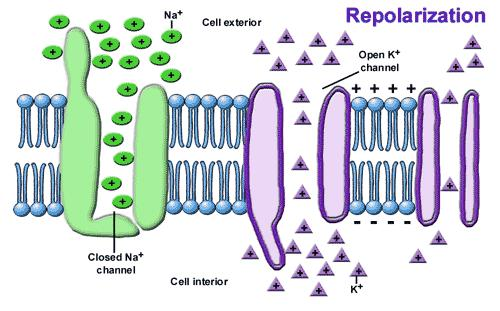 Repolarization Phase The Potassium Ion channels open up allowing the Potassium Ions to leave the Neuron, because the Sodium Ion channels are now closed.