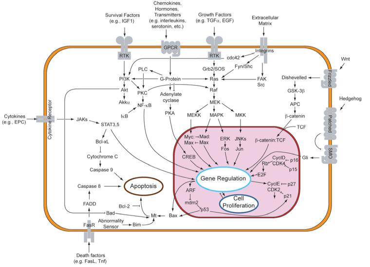 Cellular Signaling Pathways Signaling Overview Signaling steps Synthesis and release of signaling molecules (ligands) by the signaling cell.