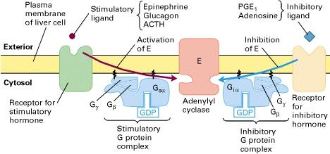 β Adrenergic receptors and G s Termination of the signal The signal must stop when the concentration of hormones in the body decreases.