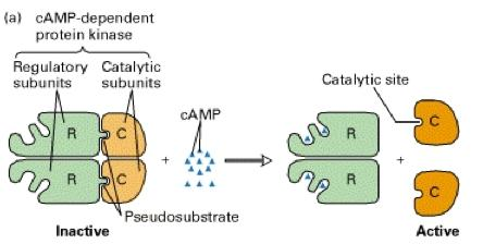 Secondary Messengers camp-dependent protein kinases Tetramers consisting of two regulatory (R) subunits and two catalytic subunits (C) Binding of camp to the R subunits causes dissociation of the two