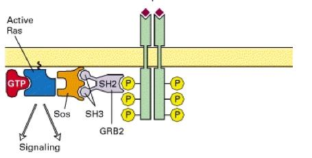 MAP Kinase Pathways Protein kinases are found downstream of activated Ras in the RTK signaling pathway.