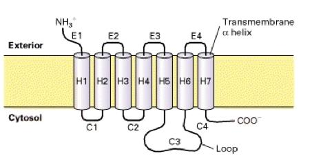 G-Protein Coupled Receptors (GPCRs) All GPCRs contain seven membrane spanning regions with the N-terminal segment on the exoplasmic face and the C-terminal segment on the cytosolic face of the plasma