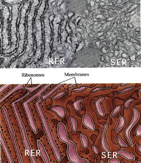 Smooth Endoplasmic Reticulum Synthesis of steroid hormones.