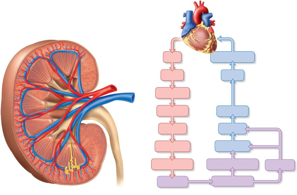 Blood Supply Diagram Interlobular artery and vein Interlobar artery and vein Aorta Inferior vena cava Renal medulla Segmental artery Renal a. Segmental a. Renal v.