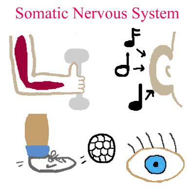 Nervous System Overview - Page 10 of 14 The somatic nervous system can be thought of as the branch of the nervous system of which we are conscious.