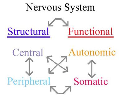 Nervous System Overview - Page 5 of 14 Now that we have discussed the essential roles of the nervous system (sensing, integrating, and generating a motor response), and the basic structure of neurons