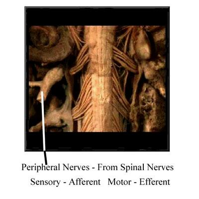 Nervous System Overview - Page 8 of 14 The peripheral nervous system is generally responsible for delivering messages from the CNS to the periphery and from the periphery to the CNS.