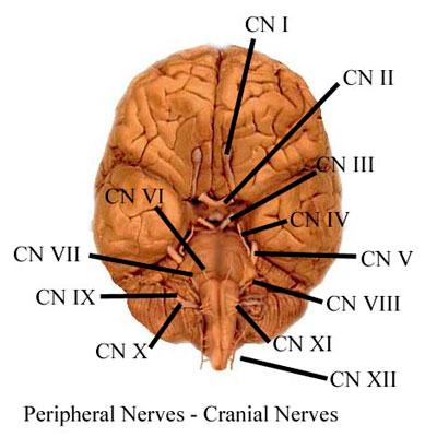 nerves. Cranial nerves and spinal nerves together are called peripheral nerves. These nerves will be discussed in detail in other modules.