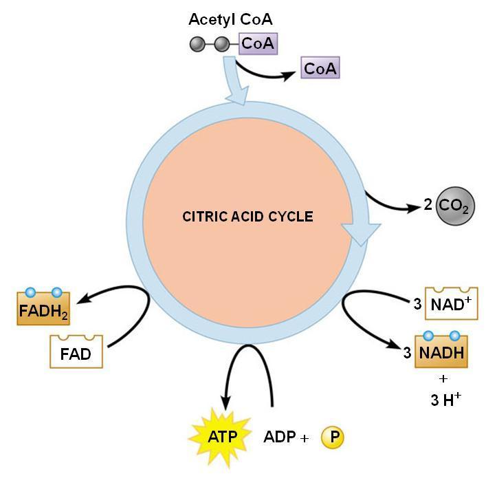In the next exercise you will detect the oxidation of succinate, a metabolic intermediate in the Citric Acid Cycle, as evidence of cellular respiration.