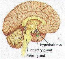 THE PINEAL GLAND Melatonin increases at night and decreases in the 27 Agha Zohaib Khan ::: www.css.theazkp.
