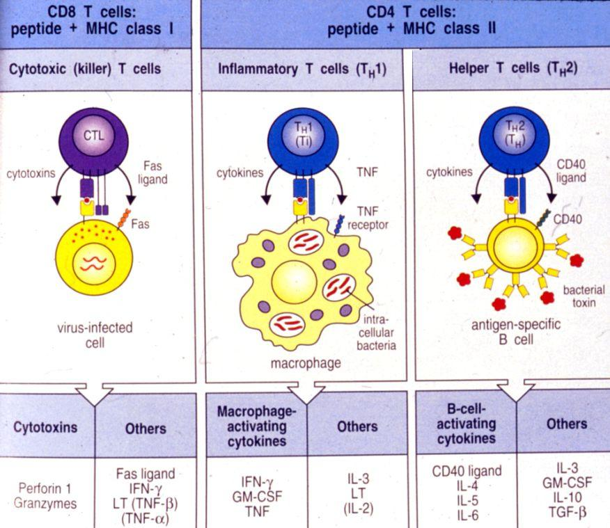 13 14 The Antigen presentation scenario: Fig 1-8 Kuby, 4e Different patterns of cytokines determines types of Immune Response: -if T C cell recognizes an Ag/MHC I complex, it