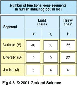 each B cell combines these gene segments to make an Ab chain like shuffling a deck of cards - V, D, and J are joined to C for the heavy chain, -V and J are joined to C for the light chain 31 Humoral