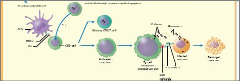 For example you do not need to know what a TH1 cell is. You do, however, need to know that some T cells stimulate macrophages while others stimulate B cells.