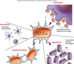 Helper T Cell T H1 Inflammation B Cell Antigen Response: Release of Antibodies When activated, B cells divide and give rise: Plasma cells or Memory B