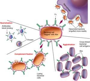 marked for destruction or neutralization Decreases immune response when needed B Cell Response, Antibody Functions Opsonization Antigen is coated with