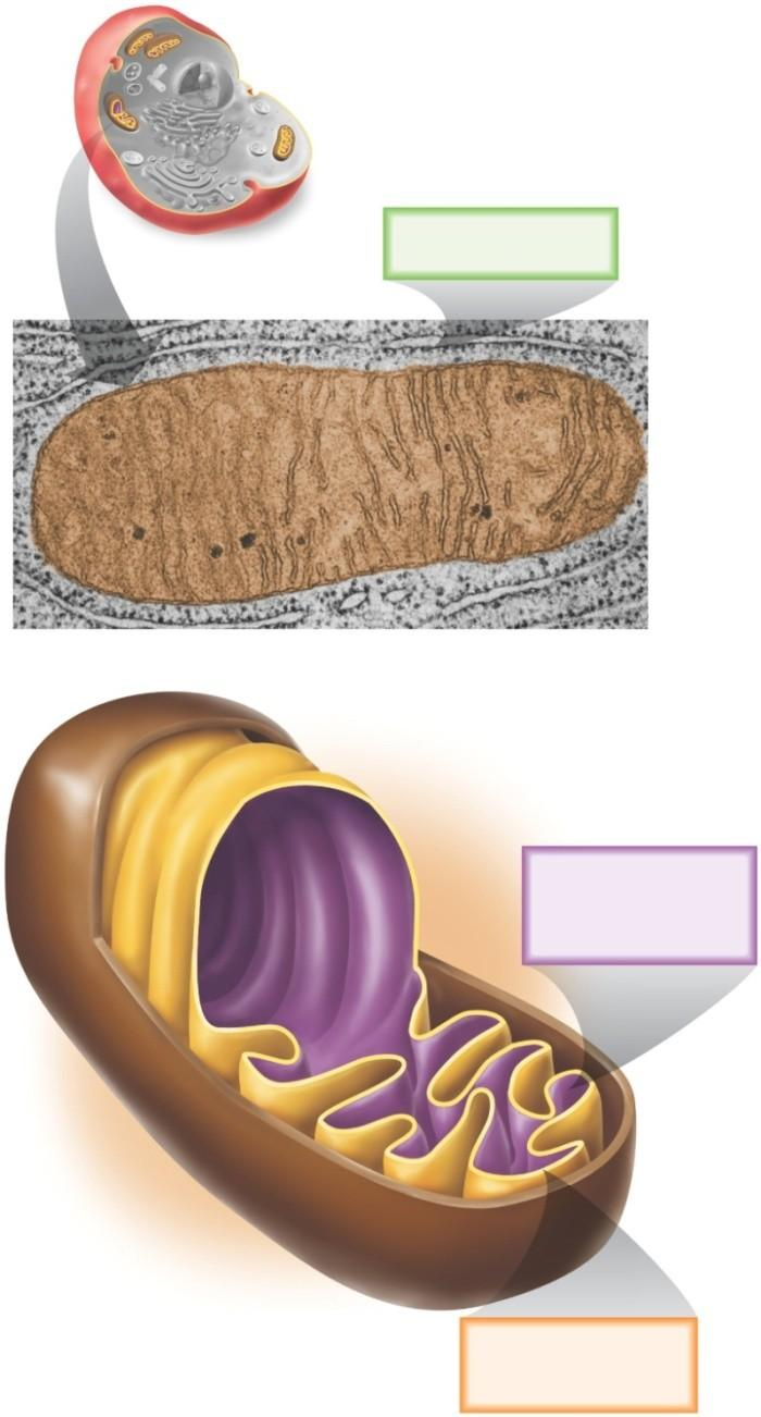 7.3 Inside the Mitochondria Other 3 phases take place inside the mitochondria 1.. 3. 4. Copyright The McGraw-Hill Companies, Inc. Permission required for reproduction or display.