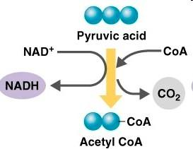 . Preparatory reaction: acetyl-coa formation 1.