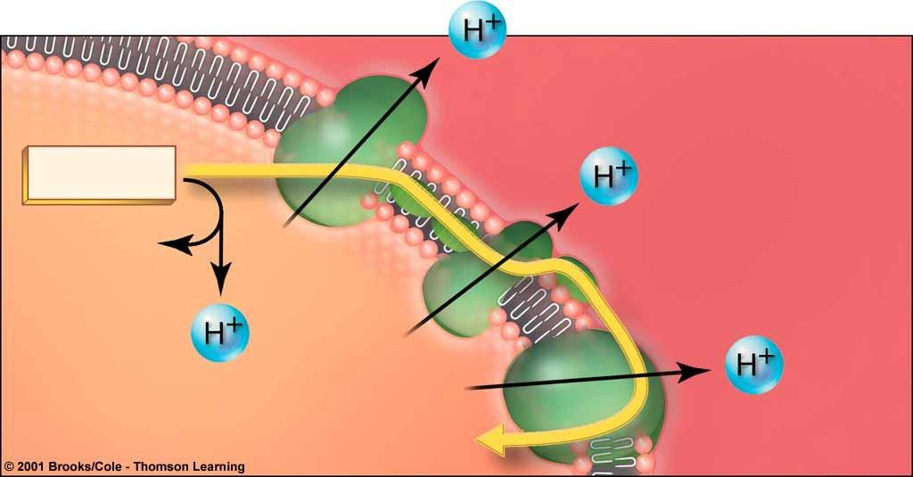 4. The electron transport chain: path of e- & H+ Coenzymes NADH and FADH donate electrons and H+ to electron transfer