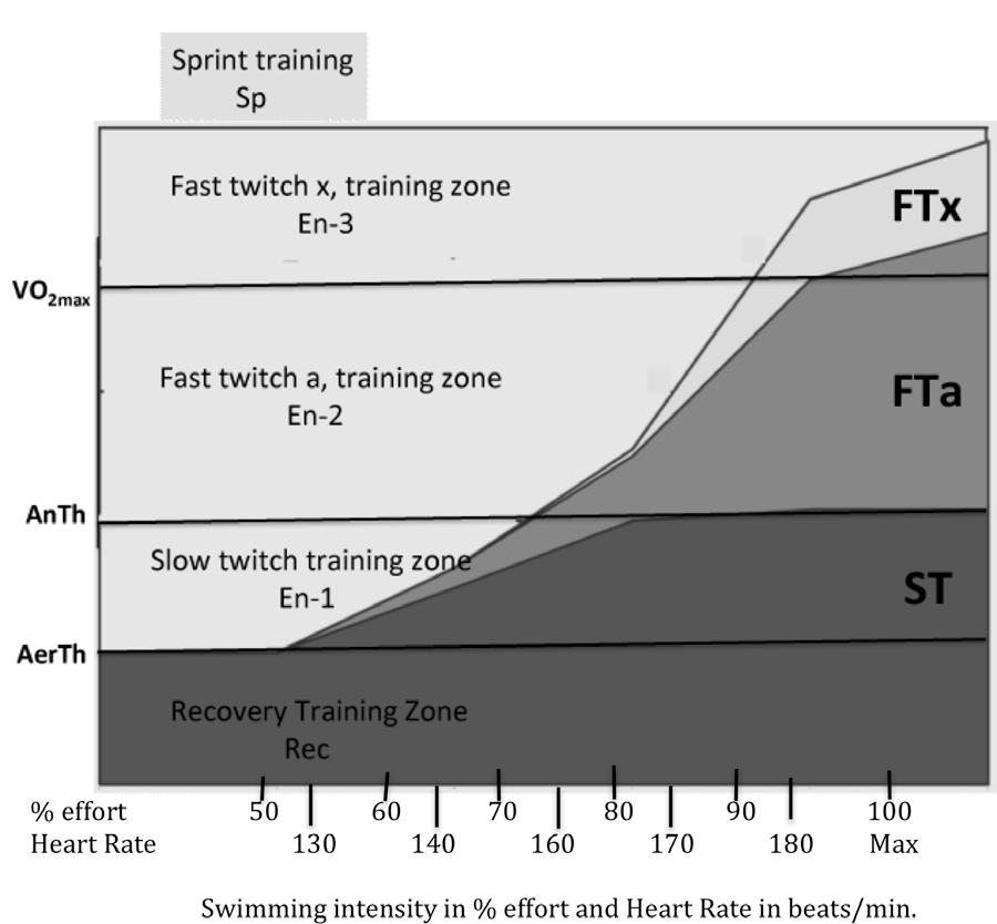 A Different Interpretation of Training Zones Before describing my interpretation of training zones, I would like to discuss how muscle fibers are recruited during work.