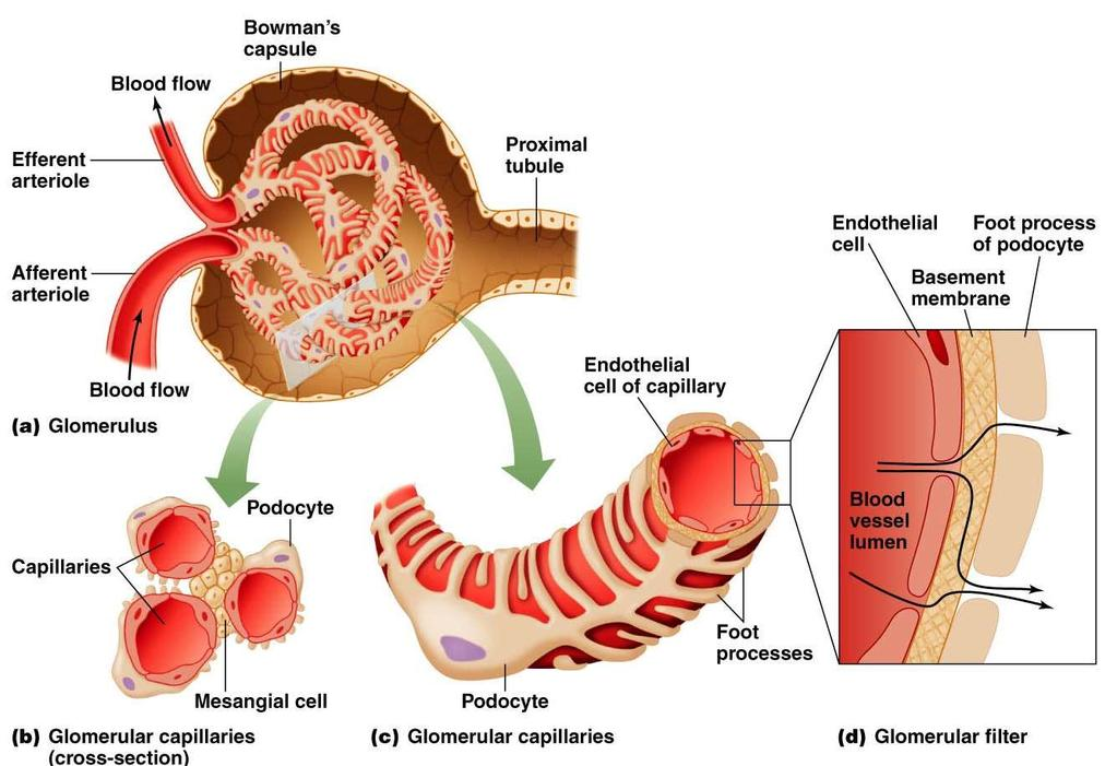 Filtration in the Glomerulus