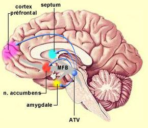 Nucleus accumbens From Wikipedia, the free encyclopedia Brain: Nucleus accumbens Nucleus accumbens visible in red.